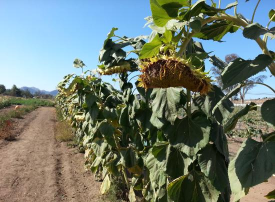 Ramona, Californie : Sunflowers, if you like, you can buy, and roast the seeds...so yummy!