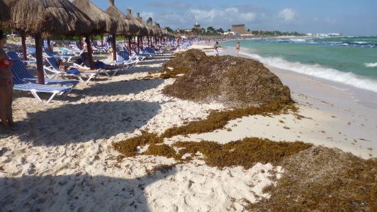 Braunalgen Mexiko