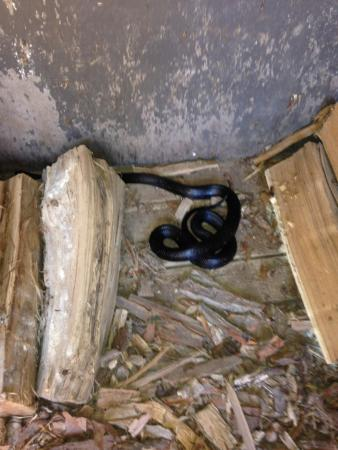 Pittsfield, Ιλινόις: We found a cool snake in the shed where they keep firewood!