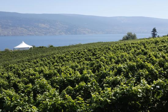 Summerland, Canada: vineyard at Bonitas Winery