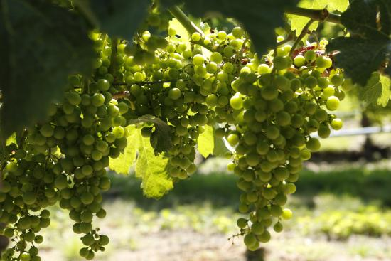 Summerland, Canada: grapes in the vineyard at Bonitas Winery