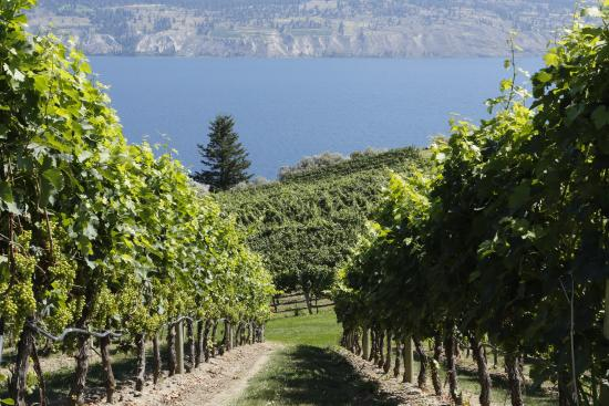 Summerland, Canadá: vineyard at Bonitas Winery