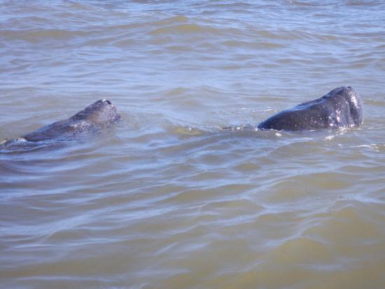 Boca Grande Beach Manatis