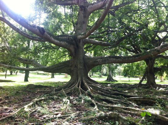 Royal Botanical Gardens: Largest Fig Tree In The World