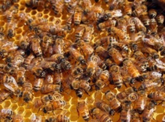 Honey Brook, Pennsylvanie : Bees hard at work making honey