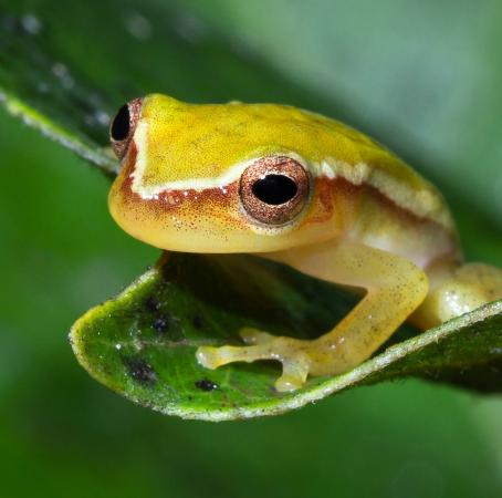 Punta Gorda, Belize: Painted tree frog hanging out in the forest reserves