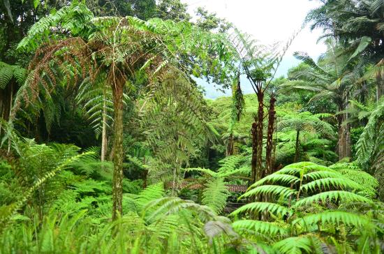 Foto de jardin botanico del quindio calarc helechos for Jardin botanico tarifas