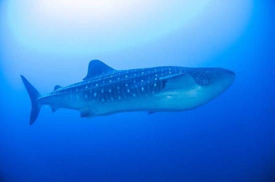 Malpelo Island, Colombia: whale shark