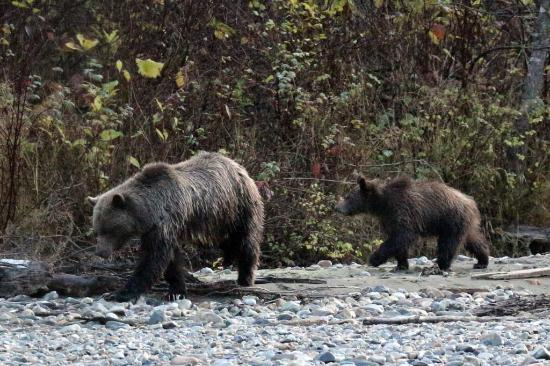 Grizzly Bear Ranch: Mother and cub
