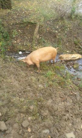 Bowland Wild Boar Park: Big Pig