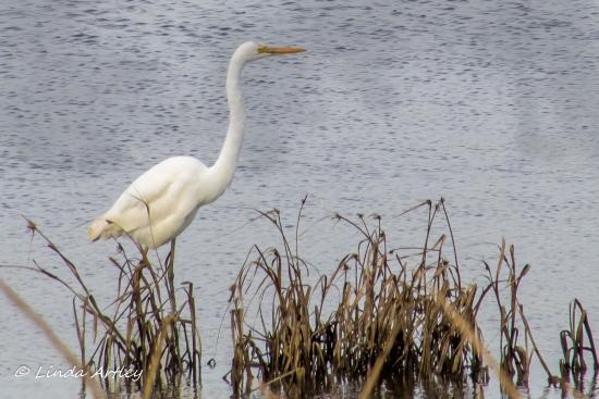Delaware: An egret hunting for dinner