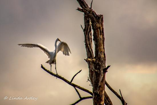 Delaware: This egret put on quite the show for us.