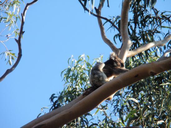 Hanson Bay, Australien: Koala - is that really comfortable?