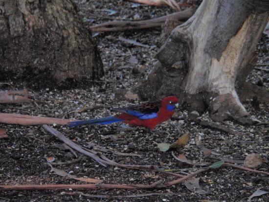 Hanson Bay, Australien: Colorful birds
