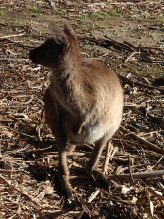 Hanson Bay, Australien: Nearly tripped over him before he stood up