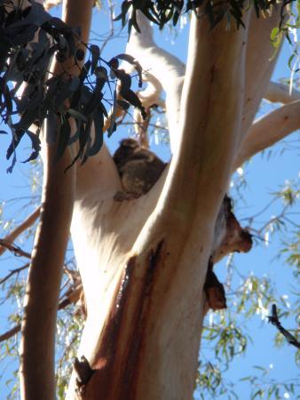 Hanson Bay, Australien: Honest, it is a koala