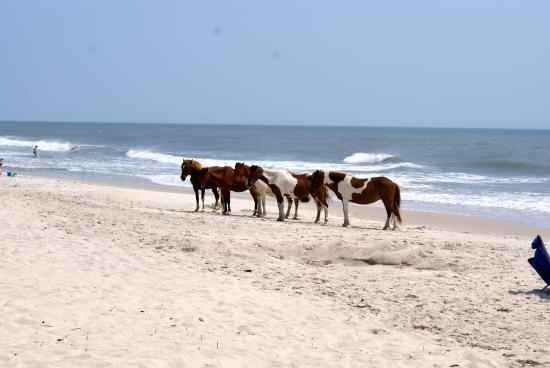 Assateague Island, MD: beautiful ponies