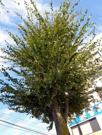 Ken Shimura Tree
