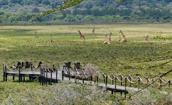 Hatari Lodge: Blick auf die Plattform mit Giraffen