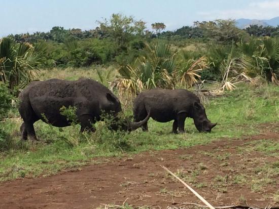 Rhino River Camp: White rhinos!
