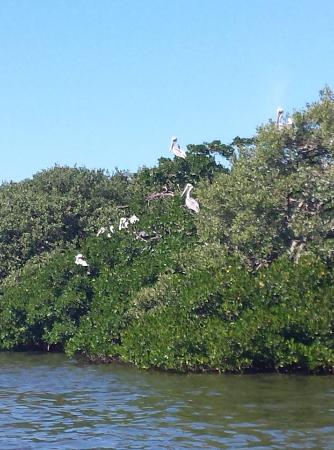 Whisper Sailing: Tons of pelicans in the trees