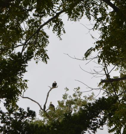 Tilghman, MD: Bald eagles visit