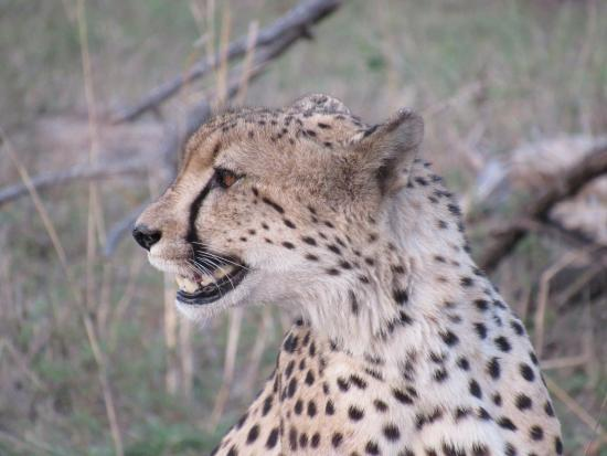 Leopard Hills Private Game Reserve, Sudáfrica: Cheetah picking up scents