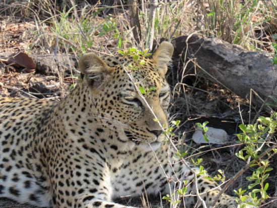 Leopard Hills Private Game Reserve, Sudáfrica: Sleepy Leopard