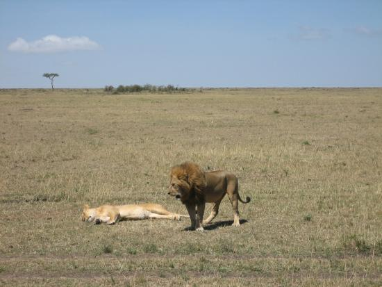 Mara Bush Houses, Asilia Africa: lions sited on a morning game drive