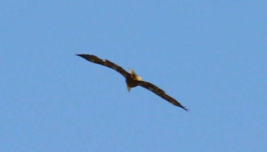 El Capitan Reservoir: Bald eagle in flight (chasing an osprey)