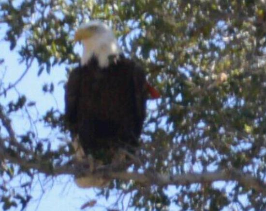 El Capitan Reservoir: One of the two bald eagles we saw that day. High in a tree, back of lake