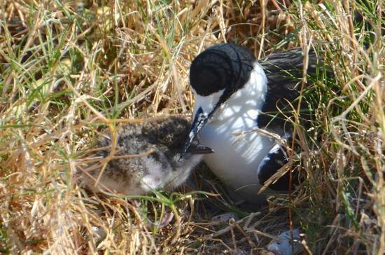 Marine Adventures: Sooty Tern and chick