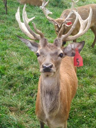Catawissa, Pensylwania: Deer with attitude