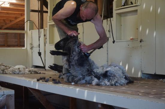 The Point Sheep Shearing Show: photo0.jpg