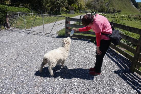 The Point Sheep Shearing Show: photo2.jpg