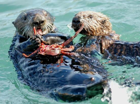 Central Coast Sailing Charters: visit the sea otters on our 10:30 am sealife sail