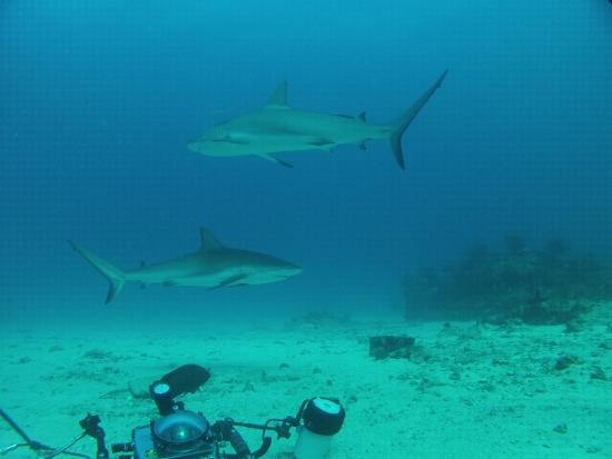 Simpson Bay, St. Martin/St. Maarten: Shark dive #1