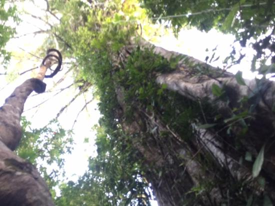 Bellenden Ker, Australia: My AVATAR tree... u just cant catch the size of it!