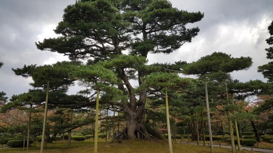 Kenrokuen Garden: Centuries Old Pine Tree