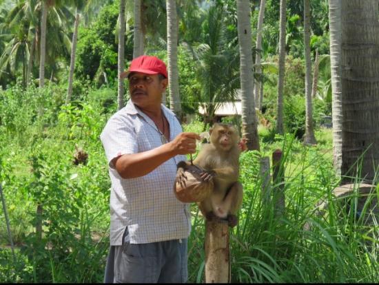 Tours Koh Samui: Monkey show - harvesting coconuts