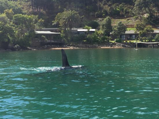 Orca visiting Kingfish Lodge