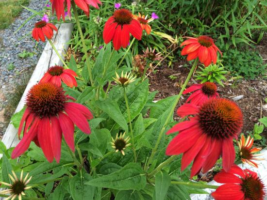 Sheet Harbour, Kanada: Beautiful red cone flowers