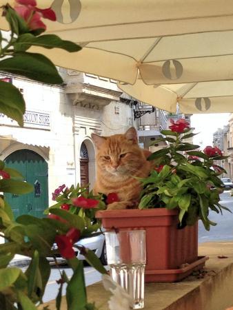 Il-Kunvent Restaurant: Katze im Blumenkasten