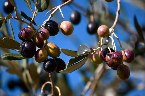 Collestrada, Italia: Into the olive plantations