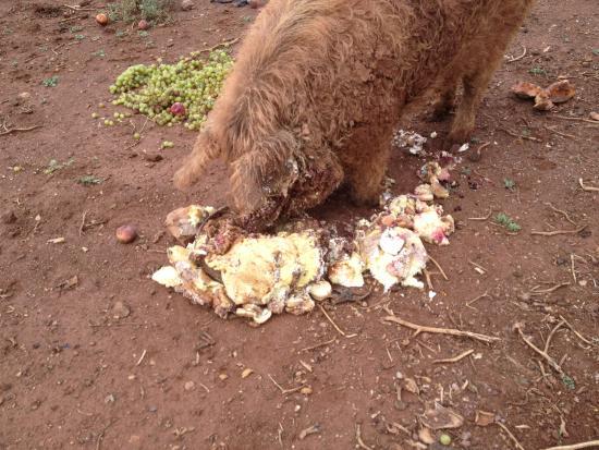 Le Cannet-des-Maures, ฝรั่งเศส: Le cochon laineux en pleine gourmandise