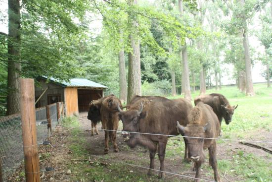 Springe, Germany: Bisons