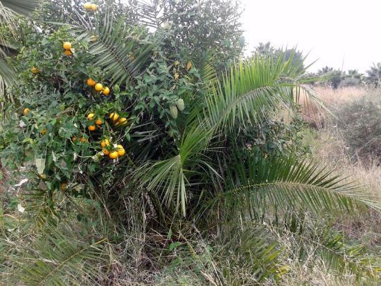 Via Verde de Denia: Híbrido de palmera y naranjo