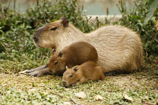 Parque Zoologico Santa Fe: Chigüiro o capibara con crías