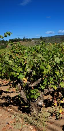 Reserve Wine Tours - Private Tours : 60 year old zin vines
