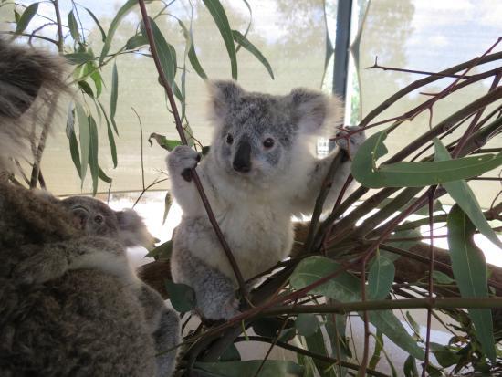 7 month old koala picture of cohunu koala park byford. Black Bedroom Furniture Sets. Home Design Ideas